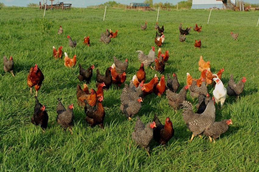 Eine Schar freilaufender Hühner