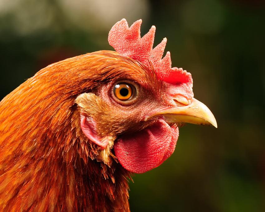 Eine wunderschöne rötliche Henne mit gesundem Schnabel und Augen