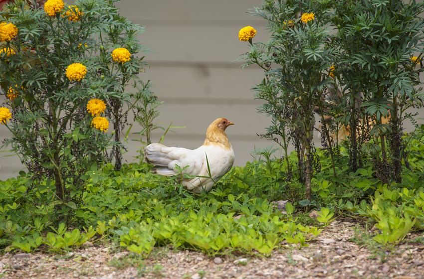 Ein wunderschönes weiß-rötliches Huhn sucht im Garten nach ein paar Käfern
