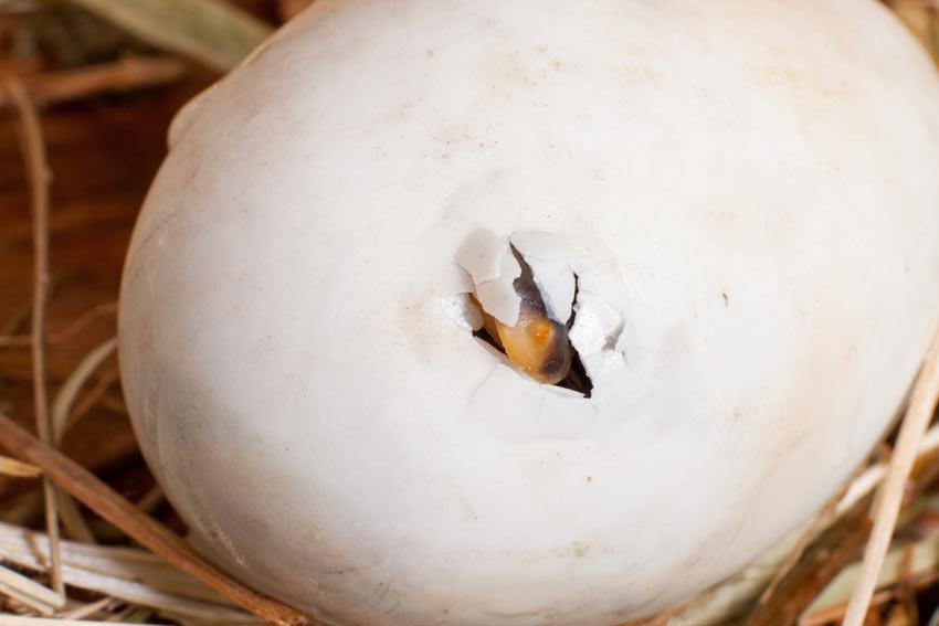 Ein Hühnchen schlüpft mit Hilfe seines Schnabels durch die Schale