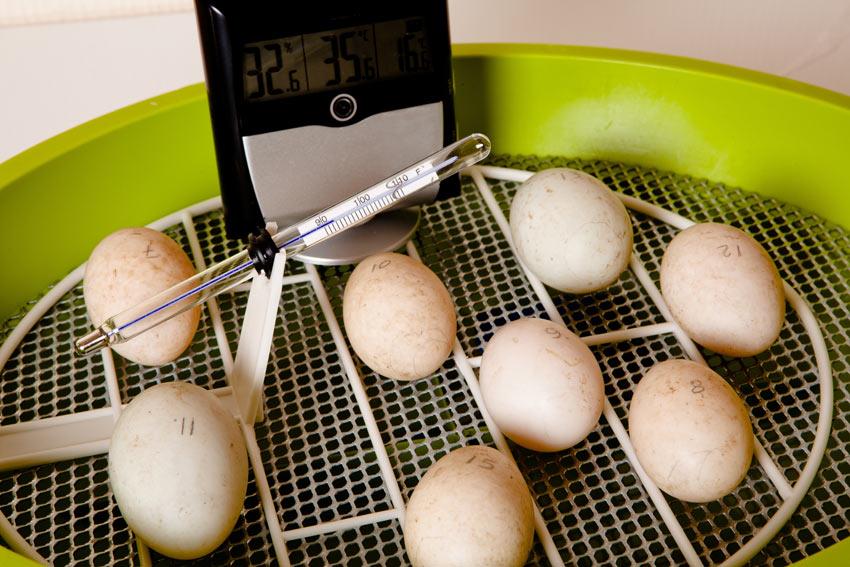 Ein paar befruchtete Hühnereier in einem Inkubator
