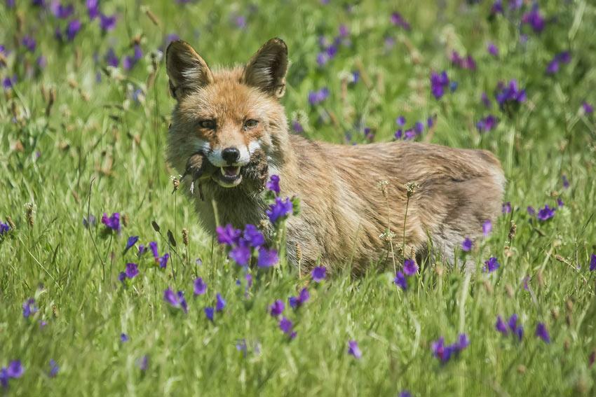 Ein listiger Fuchs jagt bei Tageslicht