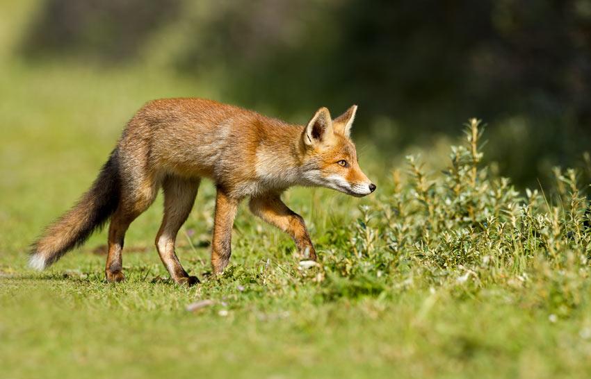 Ein Fuchs auf der Jagd nach einem Leckerbissen