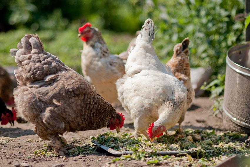 Eine Hennenschar frisst im Garten