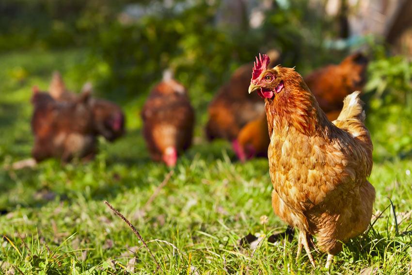 Eine Hennengruppe läuft frei im Garten herum auf der Suche nach ein paar Würmern zum Verzehr