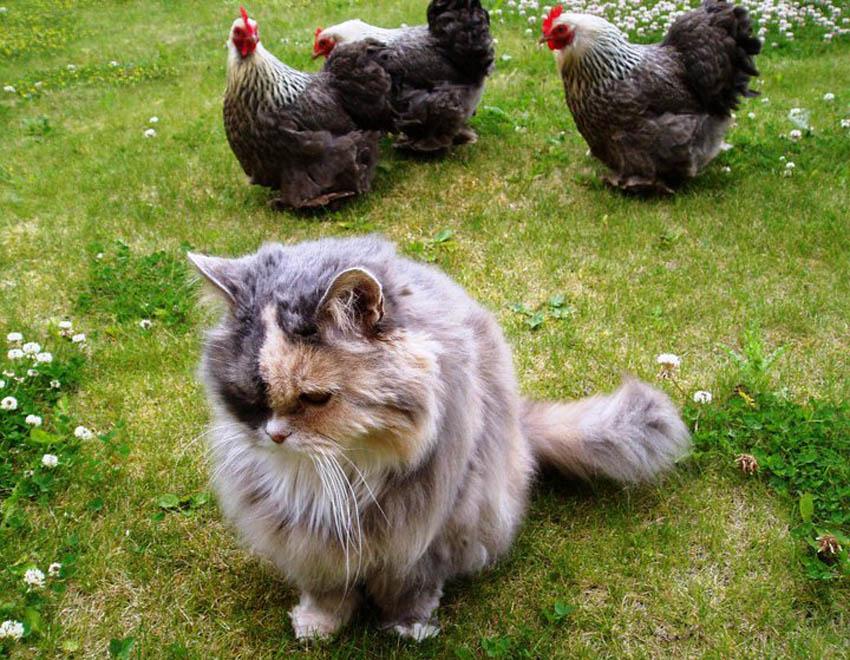 Claire Scotts Katze Lucy kommt mit ihren Peking Bantam Hennen wirklich gut klar
