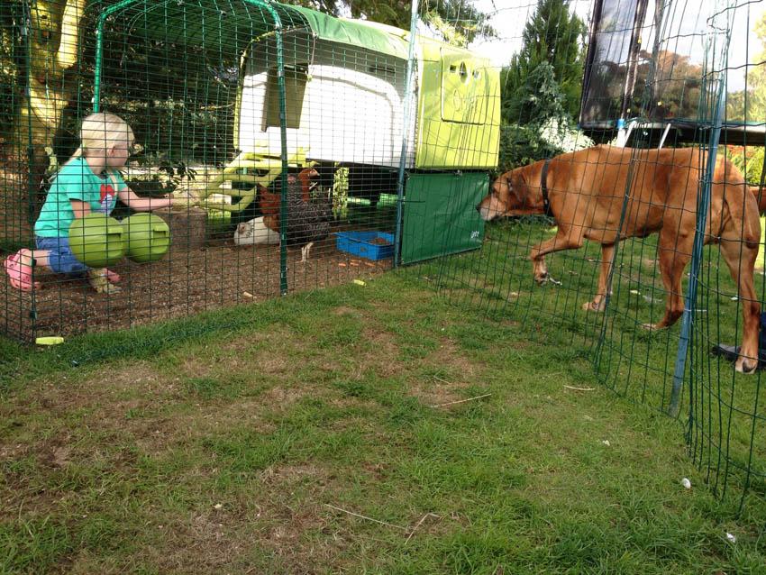 Lucy Milnes hübscher großer Hund kommt für eine Begrüßung bei ihren glücklichen Hennen im Eglu Cube vorbei