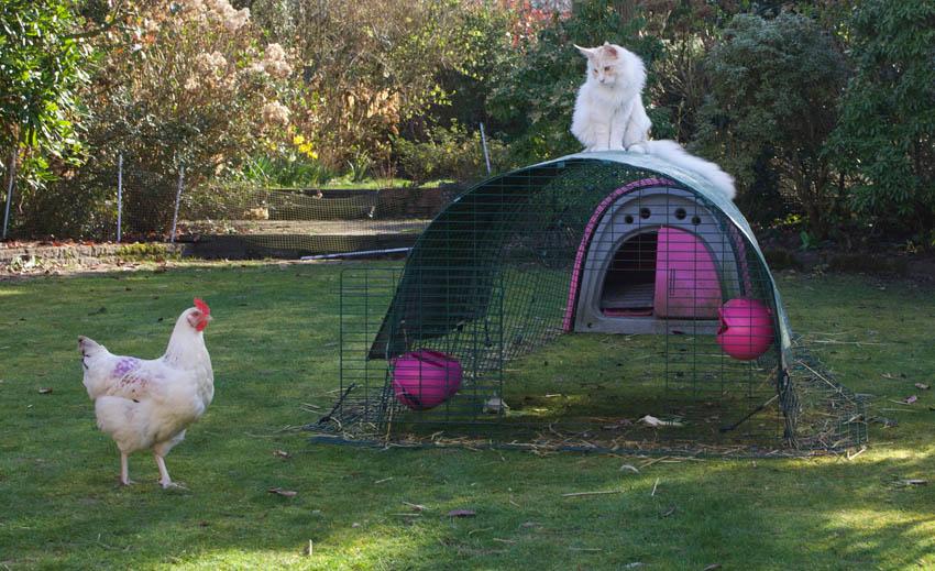 Rachael Harris Katze sitzt auf dem Hühnerhof und bewacht ihre Hennen