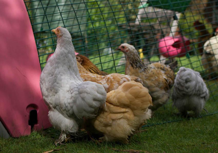 Hühner werden ihr Eglu so sehr lieben, dass sie es nicht wieder verlassen möchten!