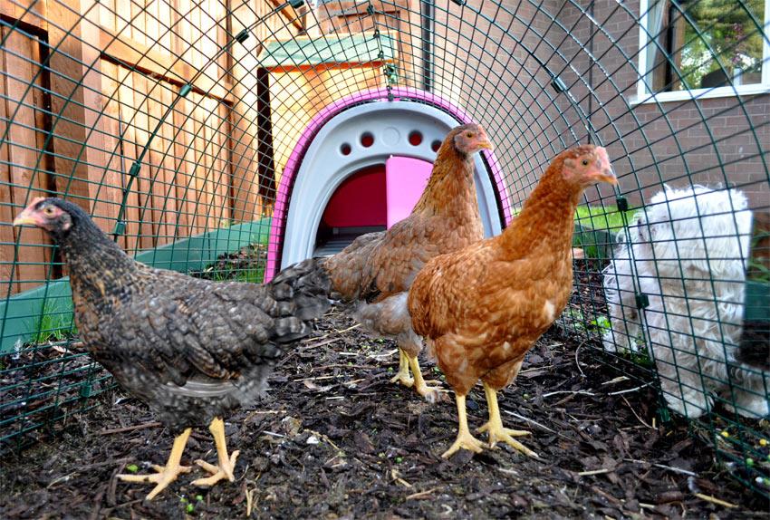 Drei Hühner genießen ihr rosanes Eglu Classic