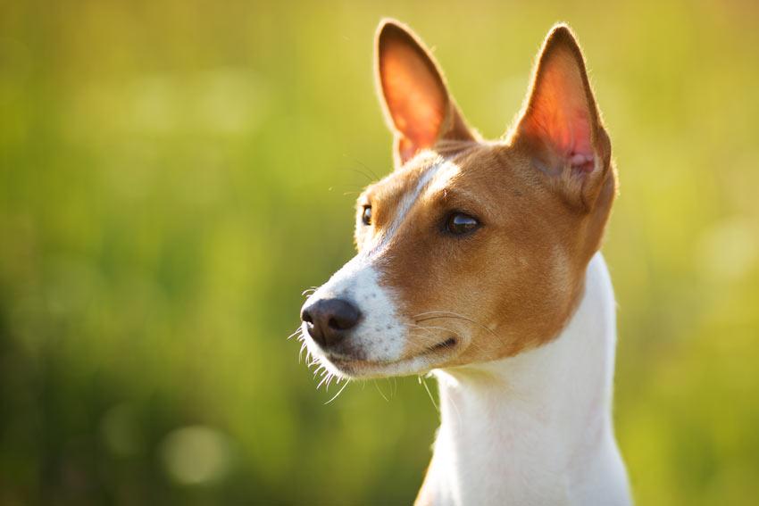 Ein Basenji mit wunderschönen großen, gespitzten Ohren