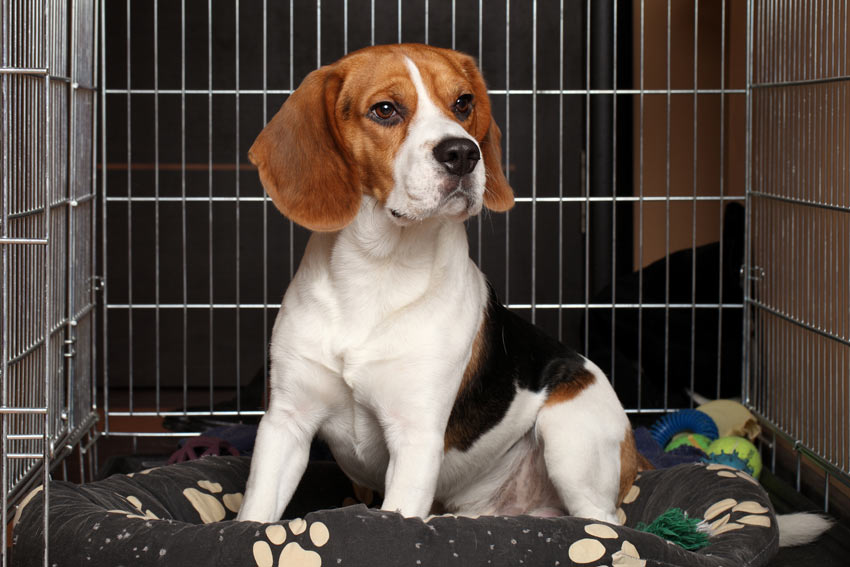 Ein Beagle in einer Hundebox am Arbeitsplatz des Besitzers