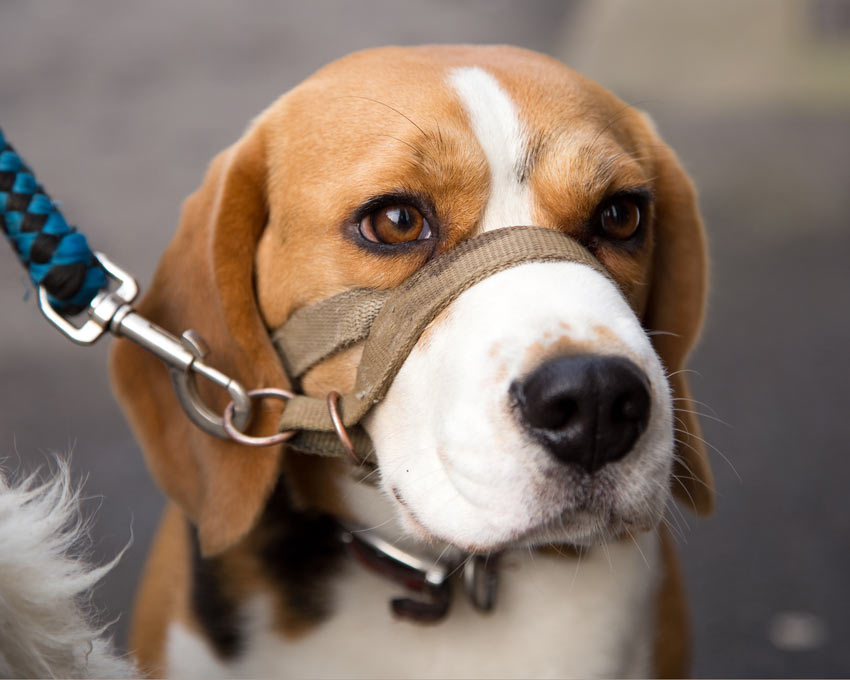 Ein angeleinter Beagle mit einer Maulschlaufe für extra Kontrolle