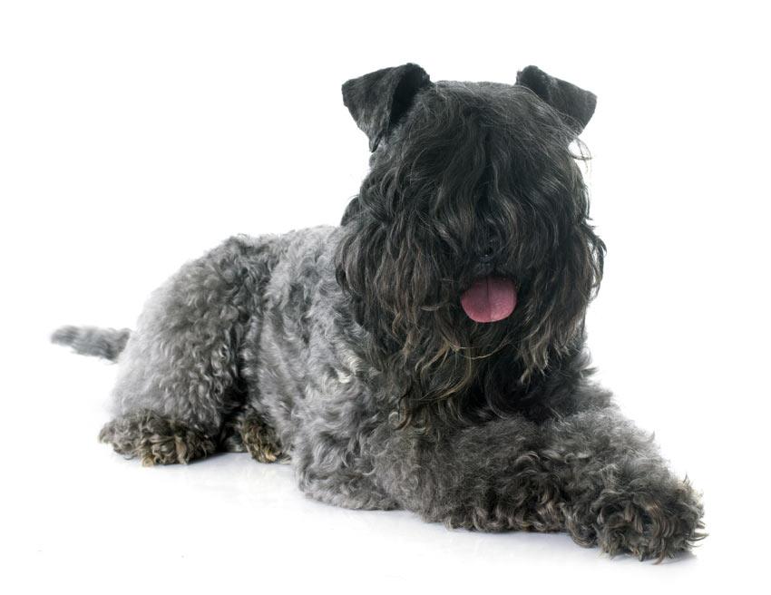 Der Russische Schwarze Terrier mit gelocktem Fell