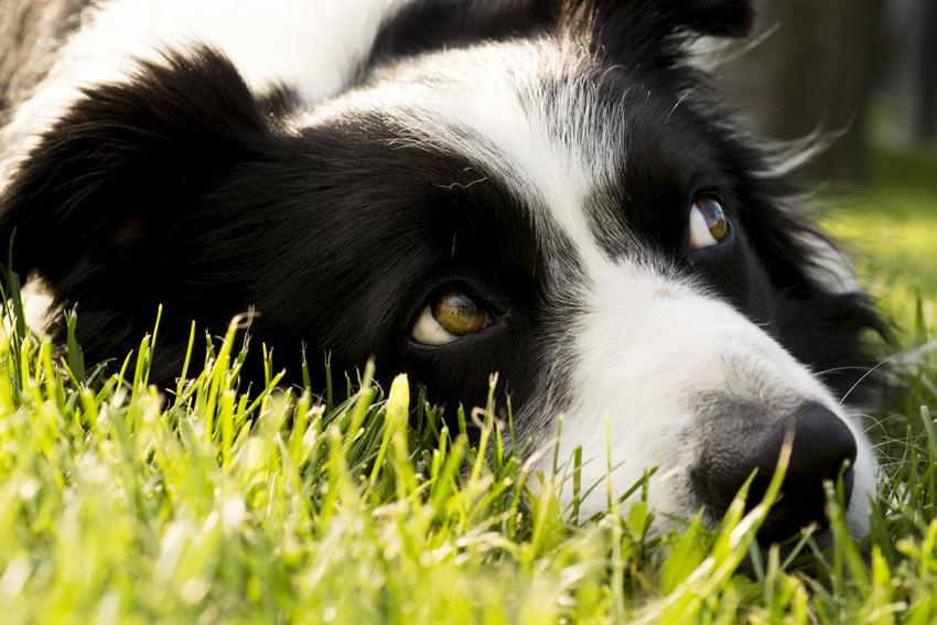 Ein Border Collie liegt draußen im Gras