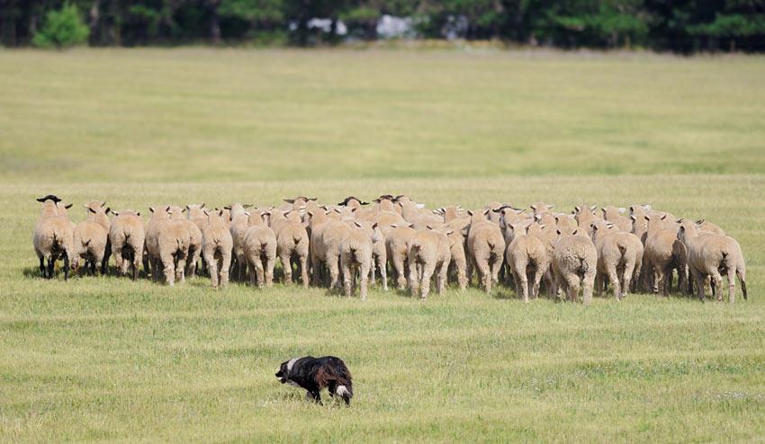 Ein Border Collie treibt eine Schafherde an