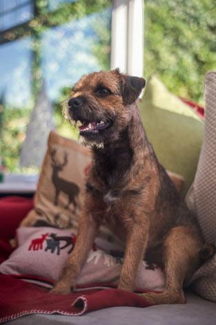 Ein Border Terrier mit wunderschönem drahtigen Fell