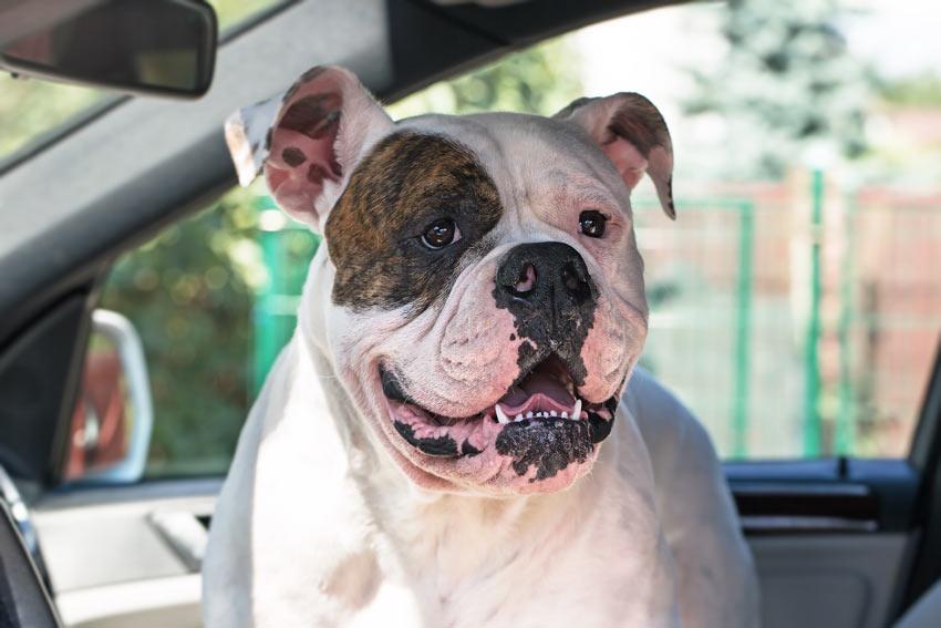 Eine Bulldogge reist im Auto
