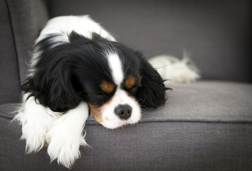 Ein Cavalier King Charles Spaniel ruht sich auf dem Sofa aus