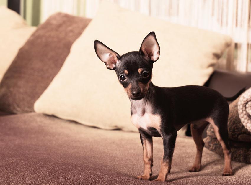 Ein Chihuahua regiert das Sofa