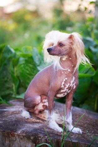 Ein fast haarloser Chinesischer Schopfhund