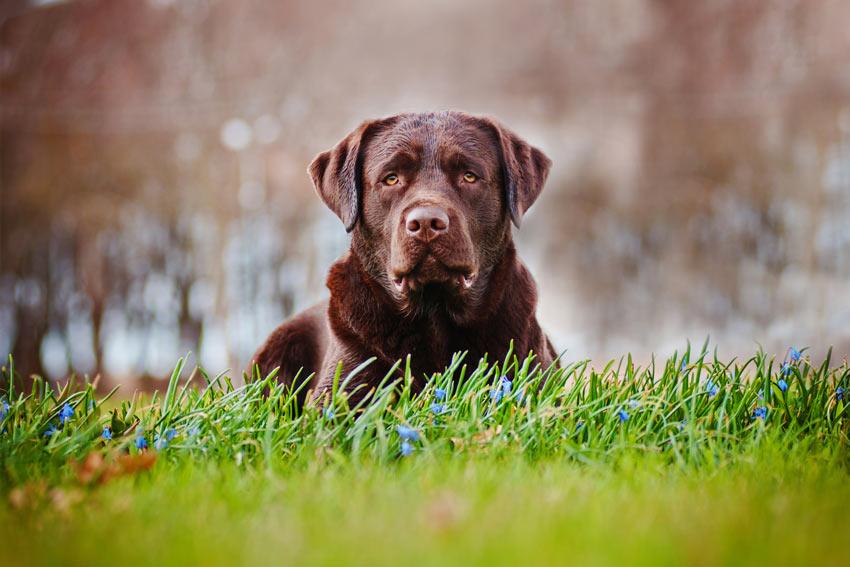 Ein schokoladenbrauner Labrador mit dicker Unterwolle