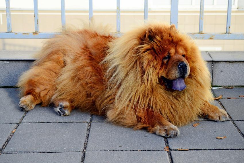 Ein Chow-Chow mit einem außergewöhnlich beeindruckenden Fell