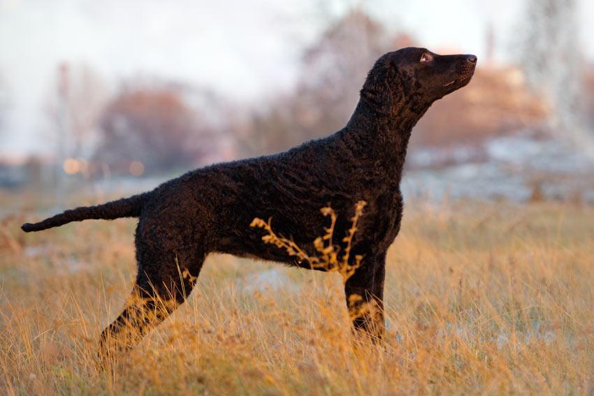 Ein Retriever mit schwarzem lockigen Fell