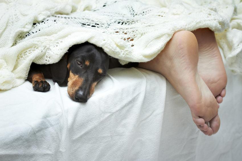 Ein Dachshund schläft die Nacht neben seinem Besitzer in dessen Bett