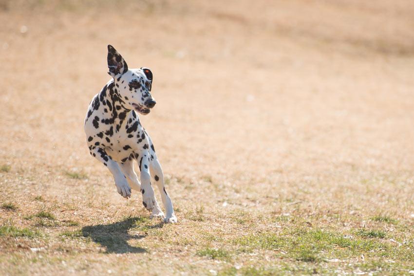 Ein Dalmatiner rennt herum und hat Auslauf