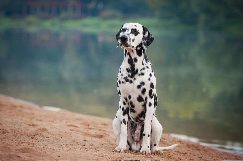 Ein Dalmatiner, dem beigebracht wurde, auf Kommando zu sitzen