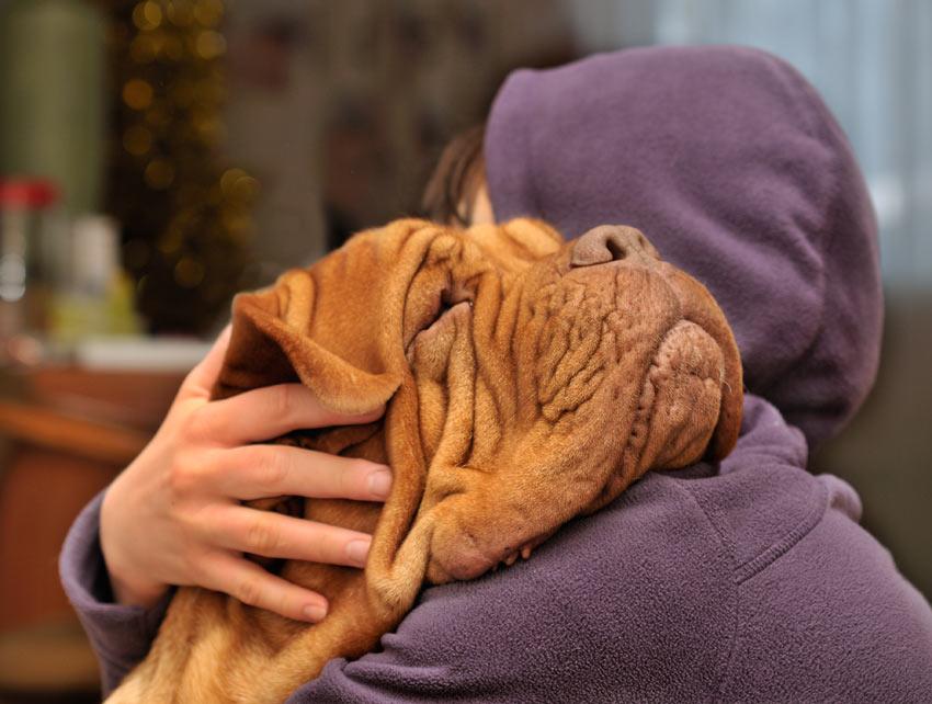 Eine Bordeauxdogge wird von seinem Besitzer geknuddelt