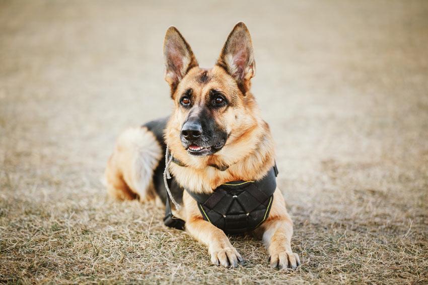 Einem Deutschen Schäferhund wurde das Kommando Platz gegeben, damit er sich hinlegt und bleibt