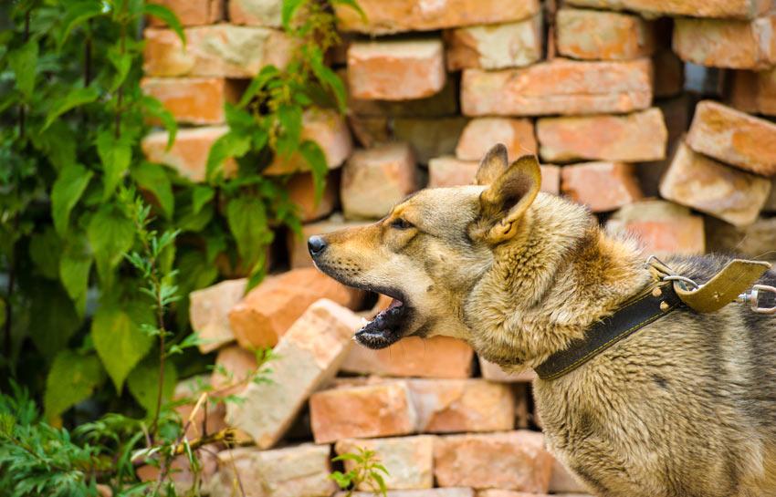 Ein Deutscher Schäferhund, dem das Bellen beigebracht wurde.