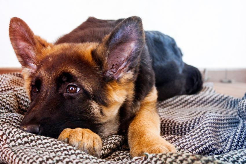 Ein Deutscher Schäferhund Welpe liegt auf einer sauberen und bequemen Decke