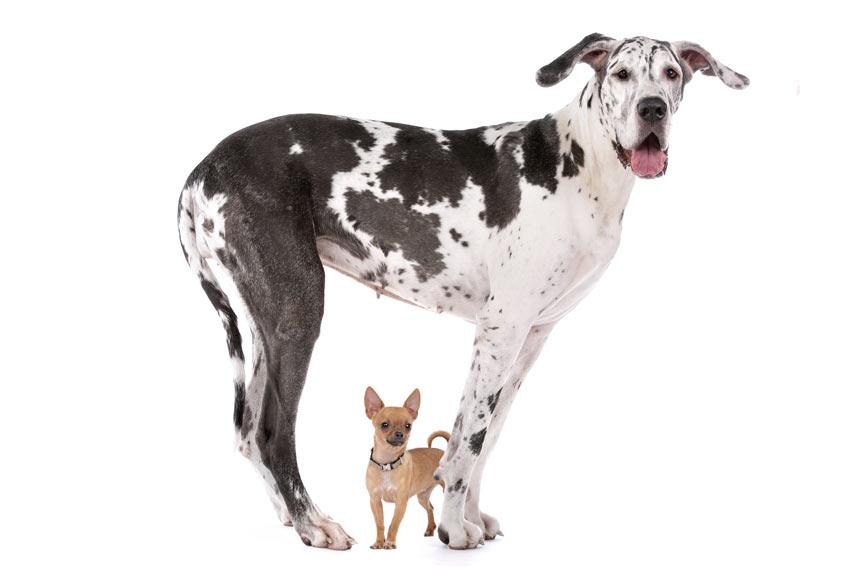 Eine Deutsche Dogge steht über einem Chihuahua
