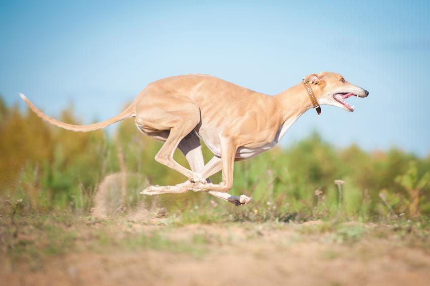 Ein Greyhound mit schönem kurzen, weichen Fell