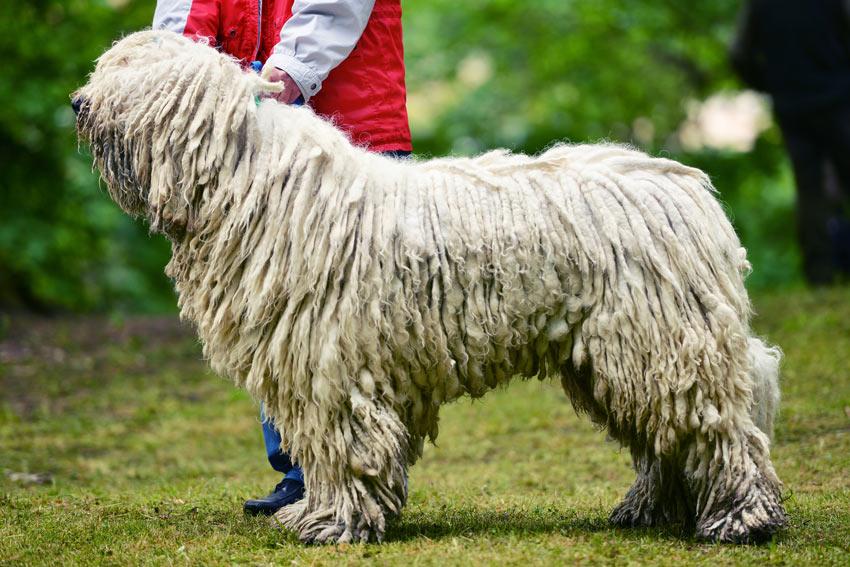 Ein ungarischer Puli mit einem umwerfend lang geschnürten Fell