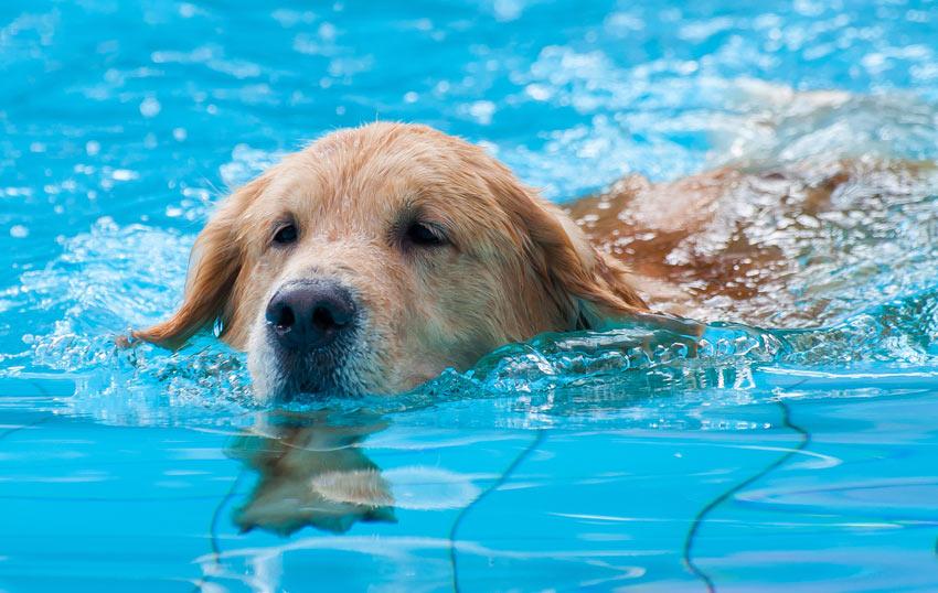 Ein Labrador lernt in einem Swimming Pool zu schwimmen