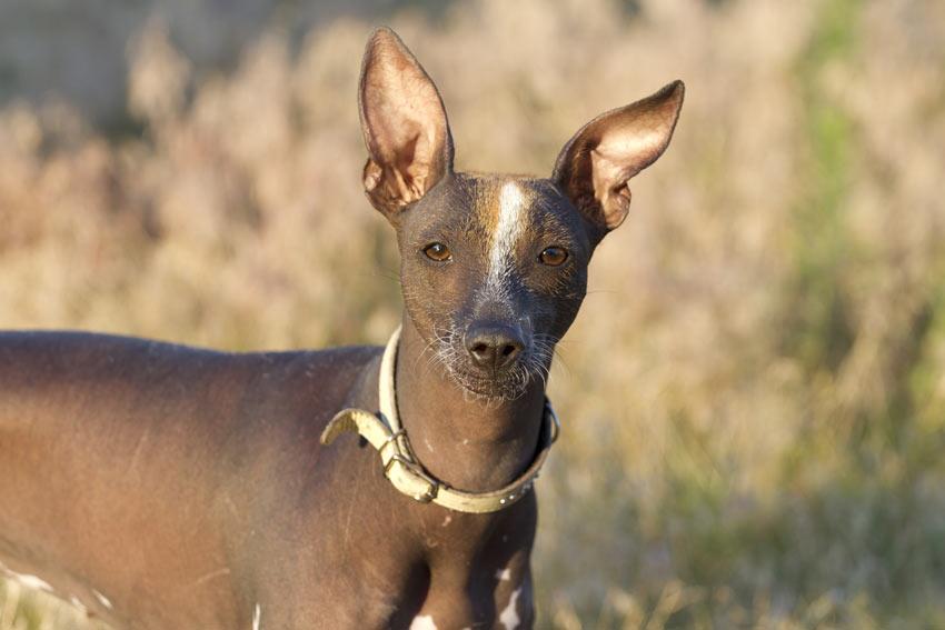 Ein Xoloitzcuintle/Mexikanischer Nackthund mit wunderschönen großen Ohren