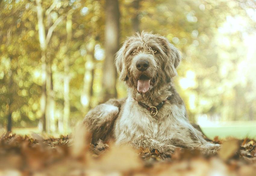 Ein Scottish Deerhound Welpe kann zu viel Auslauf bekommen