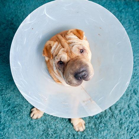 Ein Shar-Pei trägt eine Halskrause nachdem er genäht wurde
