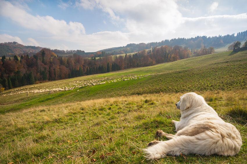 Ein Hütehund ruht sich aus, bevor er eine Schafherde bewachen muss