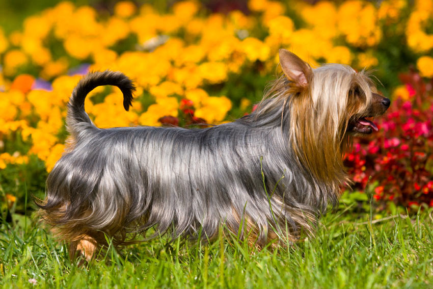 Ein Australian Silky Terrier mit wunderschön gepflegtem seidenen Fell