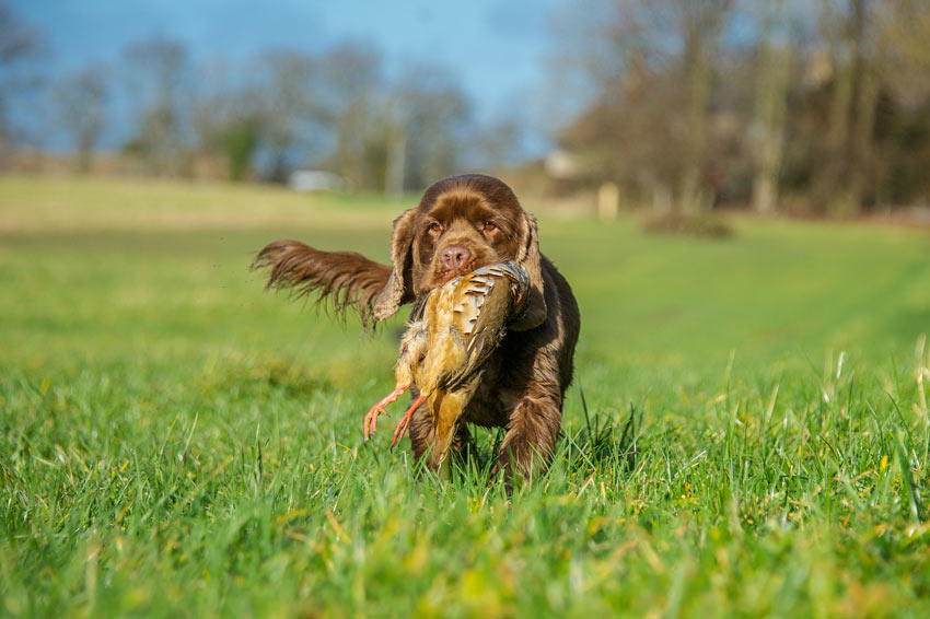 Ein Sussex Spaniel Jagdhund mit einem Vogel im Maul