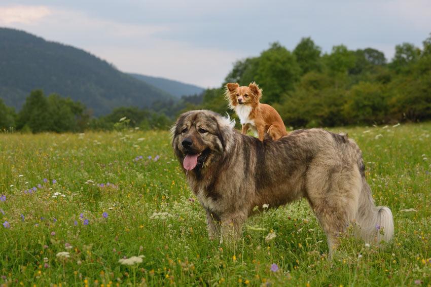Ein Zwerghund auf dem Rücken eines großen Hundes