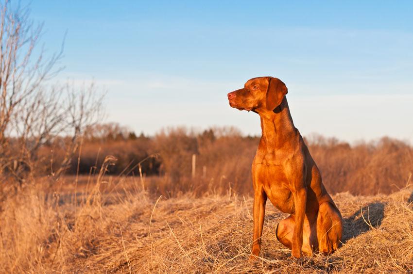Ein Ungarischer Vorstehhund mit wunderschönem, kurzen Fell