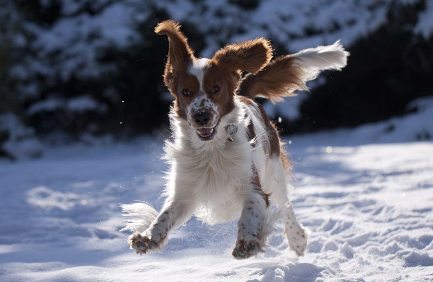 Ein Welsh Springer Spaniel ist begeistert im Schnee