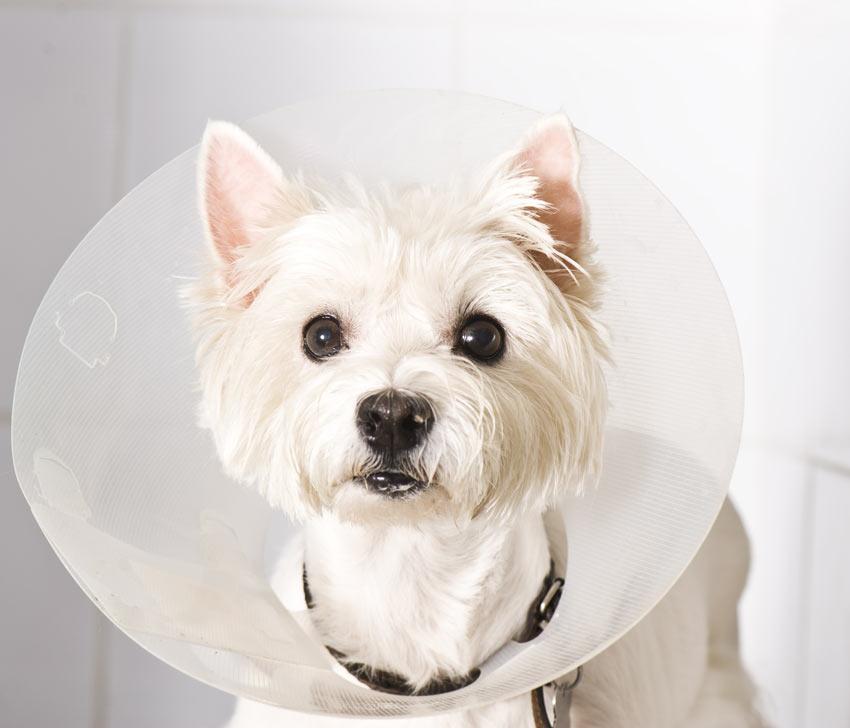 Ein West Highland Terrier trägt eine Halskrause