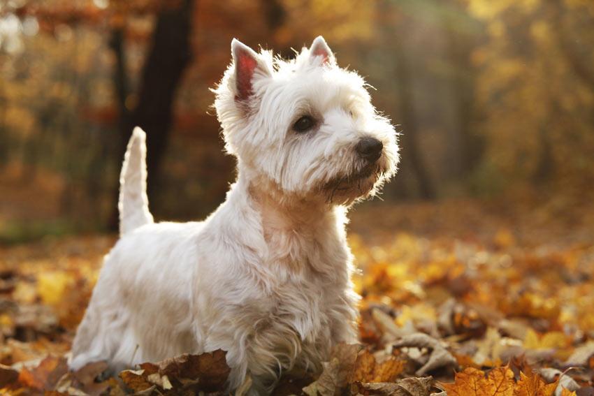 Ein West Highland Terrier mit einem wunderschön weißen Fell